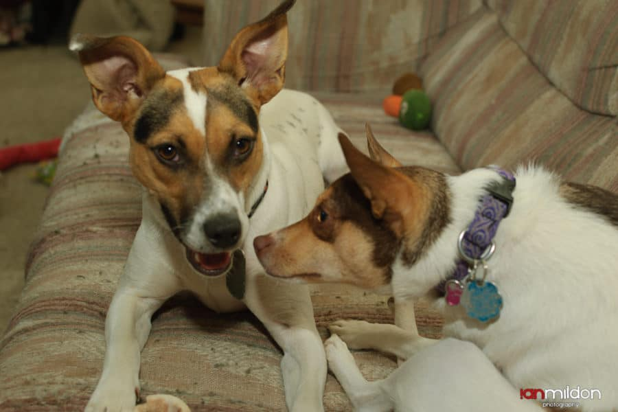 The Silly World Of Rat Terriers As Told By Jax And Amber